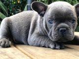 Blue French Bulldog Yavruları