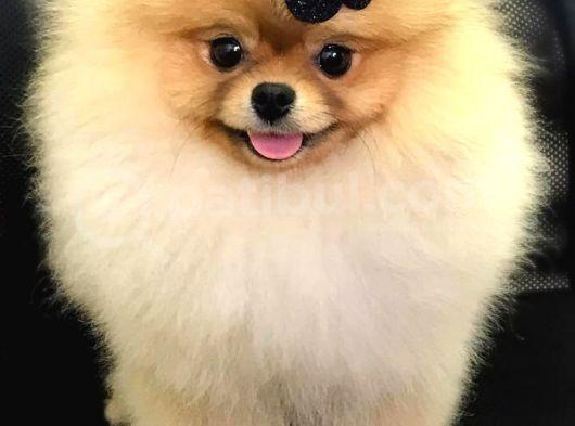 Pomeranian Boo Yavruları