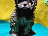Şirin Mi Şirin Toy Poodle Yavrular