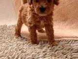 Toy Poodle Oğlumuz Geldi̇