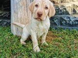 Fci Şecereli Şampanya Labrador Yavrularımız