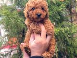 Red Brown Erkek Toy Poodle Yavrumuz