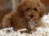 Sevimli kızıl renk red brown toy poodle yavrumuz