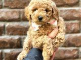 Tüy dökmeyen koku yapmayan red brown toy poodle