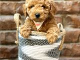 Irk ve ırk garantili red brown toy poodle yavrumuz