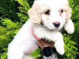 Maltese Terrier Yavrularımız