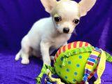 Xxs Chihuahua