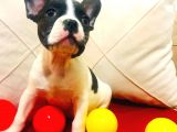 Fransız Bulldog Yavrumuz