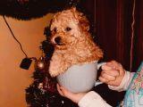 Dişi Ve Erkek Toy Poodle