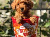 Red Brown Toy Poodle Yavrularımız