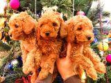 Ai̇leni̇zi̇n Yeni Üyesi Toy Poodle Yavrularımız