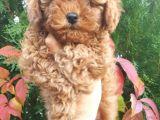 Sehir Hayatına Uygun Toy Poodle Yavrular