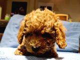 Toy Poodle Yavrularimiz