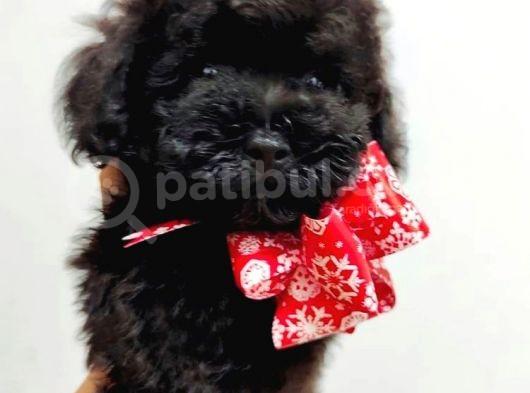 Dişi ve Erkek Safkan Black Toy Poodle Yavrularimiz