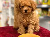 Red Toy Poodle Erkek Yavrumuz