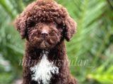 İrk ve Saglik Garantili Chocolate Poodle Yavrumuz