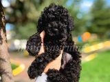 Disi ve Erkek Orjinal Black Toy Poodle Yavrularimiz