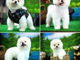 Ayı Surat Teddyface Pomeranian Boo Oğlumuz Puty / Yavrupartiler