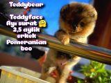 Ayı Surat Teddyface Pomeranian Boo Oğlumuz BUGGY / Yavrupartiler