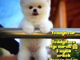 Ayı Surat Safkan Pomeranian Boo Oğlumuz TOPİTO / Yavrupartiler