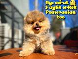 Teddybear Ayı Surat Pomeranian Boo Oğlumuz TOMBİ / Yavrupartiler