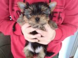 Pet Pasaportlu Microchipli Dişi Yorkshire Terrier