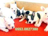 Erkek Di̇şi̇ French Bulldog Yavrular İzmi̇r