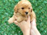 Anne Altından Toy Poodle Yavruları