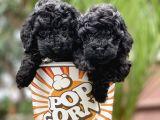 Toy Poodle Yavrular (Di̇şi̇&erkek)