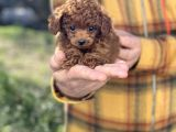 Dark Red Brown Tea Cup Toy Poodle / Erkek