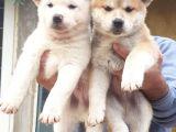 Akita Inu Japon Akita Yavruları Dost Pet