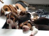 Beagle Yavruları Dost Pet
