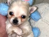 Chihuahua Yavruları Dost Pet