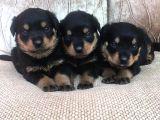 Rottweiler Yavruları Dost Pet