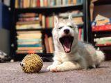 Sibirya Kurdu Husky Yavruları Dost Pet