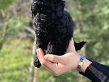 Black Color / Di̇şi̇ / Toy Poodle Yavrulari