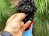 Safkan Irk Garantili Black Toy Poodle Yavrularımız