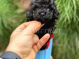 Orjinal Irk Garantili Black Toy Poodle Yavrularimiz