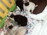 Pug mops yavrularımız