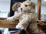 Poodle Gen Baskin Maltipoo Bebeklerim