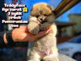 Ayı Surat Teddybear Pomeranian Boo Oğlumuz Rocky