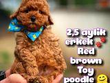 Toy Poodle Safkan Yavru Oğlumuz Çokonat