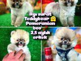 Ayı Surat Teddybear Pomeranian Boo Oğlumuz Tossy