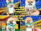 Safkan T-Cup Teddybear ayı surat Pomeranian oğlumuz CEVİZ