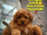 Toy Poodle Safkan Yavru Oğlumuz Çokomel