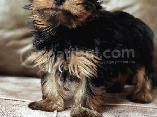 Eğitimli Microchipli Yorkshire Terrier Erkek