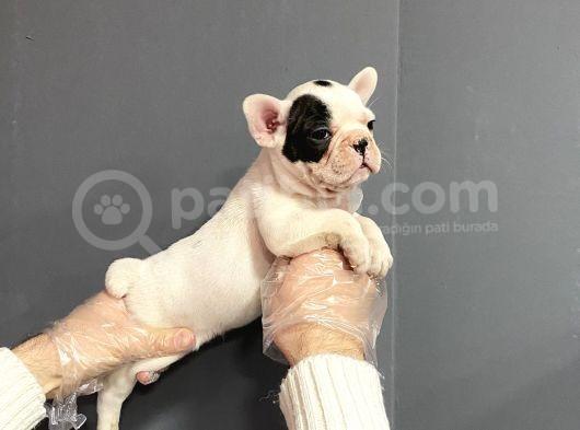 Satılık Maskeli̇ French Bulldog Yavruları