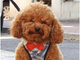 Orjinal Toy Poodle Oğlumuza Eş Arıyoruz