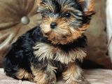 Eğitimli Microchipli Sevimli Yorkshire Terrier