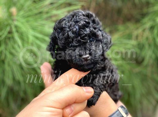 Irk Ve Sağlık Garantili Black Poodle Yavrularımız